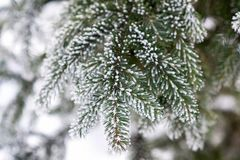 Branches covered with snow Royalty Free Stock Image