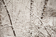 Branches covered with snow in the park. White tranquil winter snowing background Stock Images