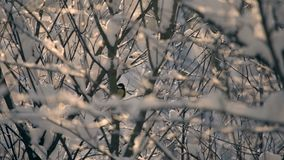 The branches are covered with snow. Titmouse sits on a branch, cleans feathers and flies away. Still shot stock footage