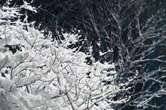 Branches covered with snow. Tree branches covered with lot of snow close up Royalty Free Stock Photo