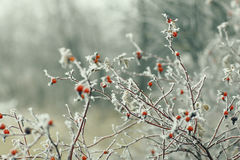 Branches covered with snow. At winter forest Royalty Free Stock Photography