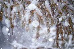 Branches covered. With snow winter snowfall background Stock Photo