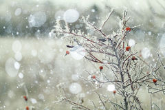 Branches covered. With snow winter snowfall background Royalty Free Stock Photography