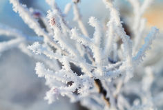 Branches are covered with white fluffy snow flakes in winter Park Royalty Free Stock Photo