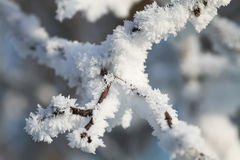 Branches are covered with white fluffy snow flakes in winter Park Stock Photos
