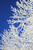 Branches covered with white frost Royalty Free Stock Images