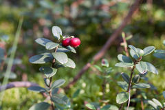 Branches of cowberry in a forest Royalty Free Stock Photo