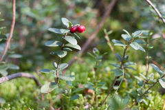 Branches of cowberry in a green forest royalty free stock image