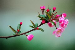 A branch of crabapple flowers. Branches of crabapple flower buds in spring stock photo