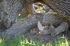 Branches crossing together in the grass. It was taken in Spring in California Park Royalty Free Stock Photos