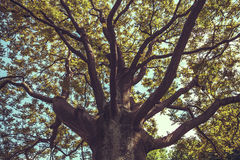 Branches of crown at trunk old tree Stock Image