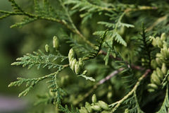 Branches of cupressus Royalty Free Stock Photos