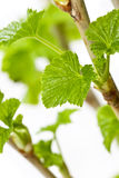 Branches of currants Stock Photos