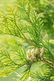 Branches of cypress tree. With the seed groupings, against the sun Stock Photography