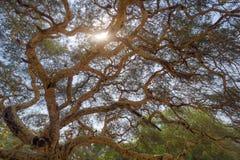 Branches détaillées de l'arbre d'acacia photographie stock libre de droits