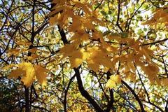 Branches d'or d'érable, automne en plein rendement photo stock