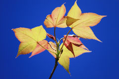 Branches d'érables de ressort Photo stock