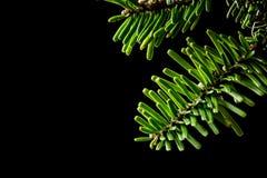 Branches d'Abies grandis de sapin grand sur le noir photos libres de droits