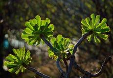 Branches d'aeonium Images stock