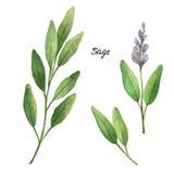 Branches d'aquarelle et feuilles de sauge Image stock