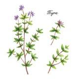 Branches d'aquarelle et feuilles de thym Photographie stock