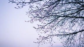 Branches d'arbre avec des bourgeons au coucher du soleil Plan rapproché des arbres de ressort foyer de nShallow Photographie stock libre de droits