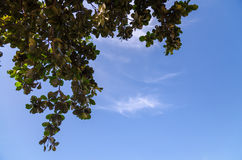Branches d'arbre avec des feuilles contre le ciel bleu Images libres de droits