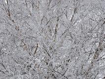 Branches d'arbre blanches dans le gel en hiver Images stock
