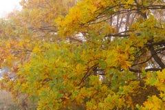 Branches d'arbre colorées de fond d'automne avec les feuilles d'or Photos libres de droits
