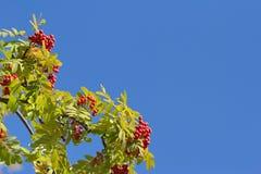Branches d'arbre colorées de sorbe d'automne contre le ciel bleu Photos stock