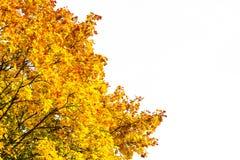 Branches d'arbre colorées par automne d'érable sur le blanc Images stock