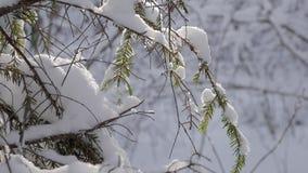 Branches d'arbre couvertes de neige fraîche dans la forêt d'hiver banque de vidéos