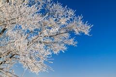 Branches d'arbre couvertes de neige sur le ciel bleu de fond Photo libre de droits
