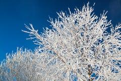 Branches d'arbre couvertes de neige sur le ciel bleu de fond Photos stock