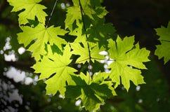 Branches d'arbre d'érable Photographie stock libre de droits