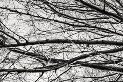 Branches d'arbre d'hiver décrites contre le ciel Photographie stock