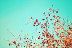 Branches d'arbre de baie de sorbe d'automne contre le ciel bleu avec l'espace libre pour le texte Fond d'automne Photo stock