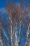 Branches d'arbre de bouleau argenté sur le ciel bleu lumineux photographie stock