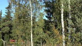 Branches d'arbre de bouleau d'automne avec les feuilles et le tronc d'arbre de couleur Inclinaison vers le haut de tir 4K clips vidéos