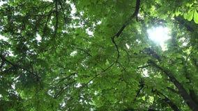 Branches d'arbre de châtaigne complètement des fleurs et des feuilles 4K banque de vidéos