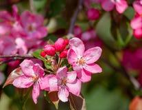 Branches d'arbre de floraison Photos libres de droits