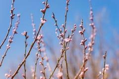 Branches d'arbre de floraison avec les fleurs roses contre le ciel bleu Sprin Image libre de droits