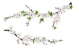 Branches d'arbre de floraison de ressort avec les fleurs blanches Images libres de droits