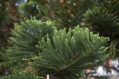 Branches d'arbre de heterophylla d'araucaria images libres de droits