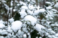 Branches d'arbre de houx couvertes de neige image stock