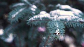 Branches d'arbre de Noël dans le plan rapproché de neige Branches de sapin couvertes de neige dans le vent en parc, plan rapproch banque de vidéos