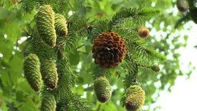 Branches d'arbre de sapin avec les c?nes verts en d?tail sur le fond de ciel nuageux banque de vidéos