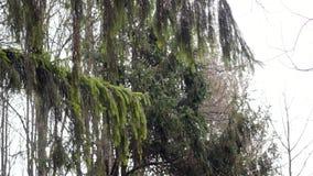 Branches d'arbre de sapin sur le fond de ciel bleu banque de vidéos