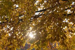 Branches d'arbre de scintillement de hêtre Photos stock