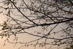Branches d'arbre de silhouette photo libre de droits